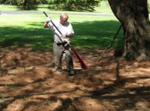 Raking . . . (Credit: photo by Carolyn Carreiro, May 2016.)
