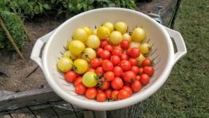 Italian Ice and cherry tomatoes just harvested. (Photo credit: A. Keith Carreiro, September 2016.)